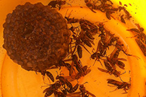 蜂駆除、蜂の巣の除去可能